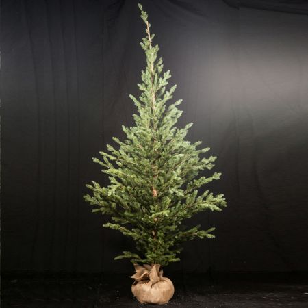 Χριστουγεννιάτικο δέντρο σαν αληθινό PE PLASTIC με βάση τσουβάλι 240cm
