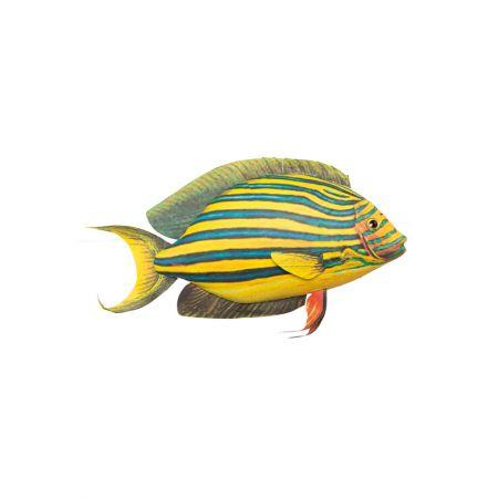 Διακοσμητικό εξωτικό ψάρι Κίτρινο - Γαλάζιο 28x20cm