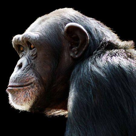 Εκτύπωση μουσαμά σε τελάρο - Χιμπατζής 120x120cm