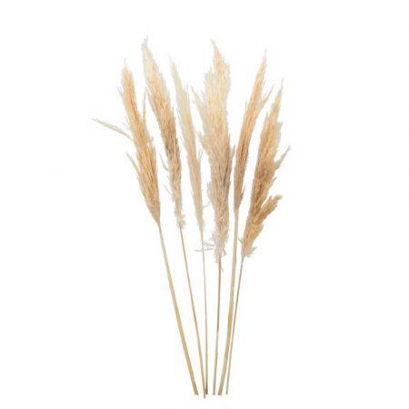 Σετ 6τχ Αποξηραμένο Pampas Grass Κρεμ 65-75cm