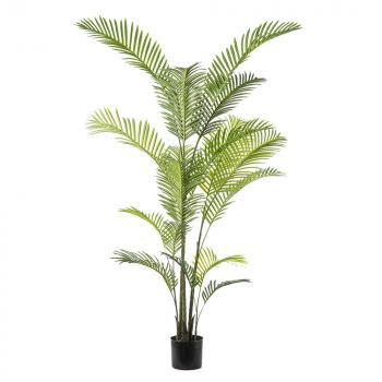 Φυτά Αρέκα