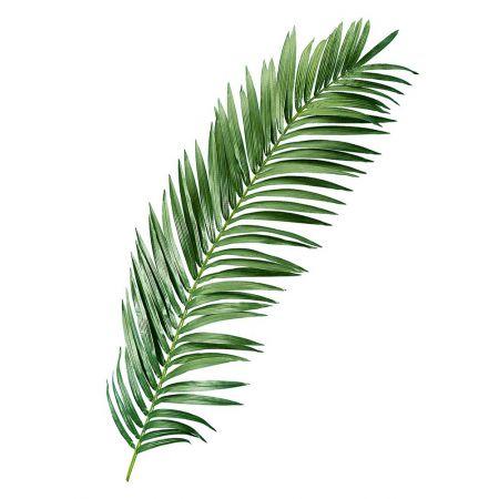 Διακοσμητικό φύλλο φοίνικα , 240cm