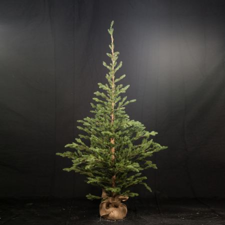 Χριστουγεννιάτικο δέντρο σαν αληθινό PE PLASTIC με βάση τσουβάλι 210cm