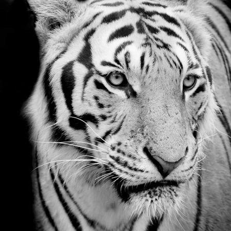 Εκτύπωση μουσαμά σε τελάρο - Τίγρη 120x120cm